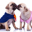 Princess and champion pug puppy dogs kissing — Stock Photo