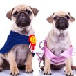 Curious princess and champion pug puppy dogs — Stock Photo