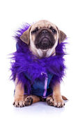 Dressed pug puppy dog on white — Stock Photo
