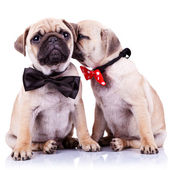 Adorable pug puppy dogs couple — Stock Photo