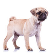Standing pug puppy dog looking to a side — Stock Photo