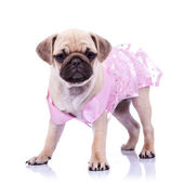 Curious pug puppy dog wearing pink dress — Stock Photo