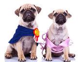 Curious princess and champion pug puppy dogs — Stok fotoğraf