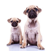 Pair of pug puppy dogs sitting on white — Stock Photo