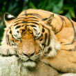 Snoozing tiger — Stock Photo