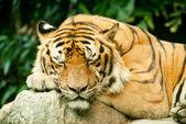 Snoozing tiger — Stock Photo