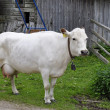 Stock Photo: White cow