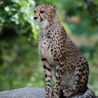 Close-up of a beautiful cheetah — Stock Photo