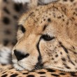 Close-up of a beautiful cheetah - Stock Photo