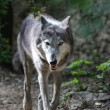 The wolf (Canis lupus) - Stock Photo