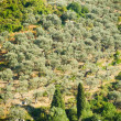 Royalty-Free Stock Photo: Olive grove