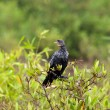 Long-tailed Cormorant — Foto de stock #8008687