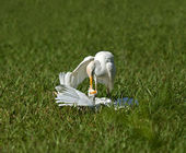 Cattle Egret Attack — Stock Photo