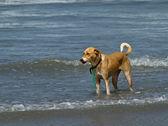 Hund stehen in flachen wellen — Stockfoto