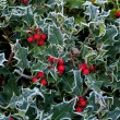 Frost on Holly Hedge - Stock Photo