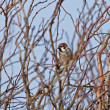 Eurasian Tree Sparrow - Stock Photo