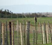 Gavilán en valla — Foto de Stock