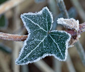 Frost on Ivy Leaf — Stock Photo