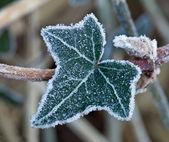 Frost på ivy blad — Stockfoto