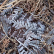 Stock Photo: Frost on Bracken
