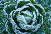 Frost on Brussels Sprouts — Stock Photo