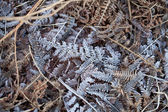 Frost on Bracken — Stock Photo