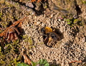 Mining Bee at nest hole — Stockfoto