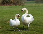 Mute Swans mated pair — Stock Photo
