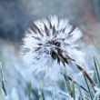 Royalty-Free Stock Photo: Frozen Dandelion