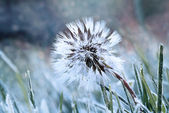 Frozen Dandelion — Stock Photo