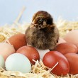 Araucana Chick and Eggs - Stockfoto