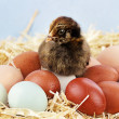 Araucana Chick and Eggs - Stock Photo