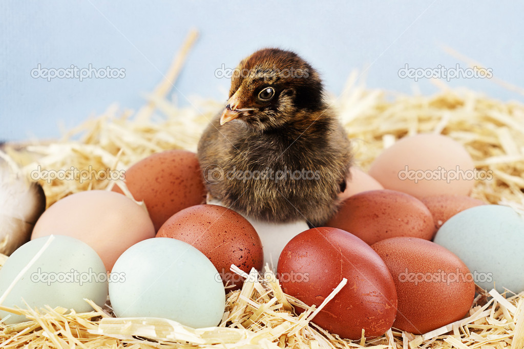 Adorable little Araucana chick sitting on top of a variety of organic farm fresh eggs.  Araucanas are also known as the Easter Chicken for the blue or greenish colored eggs they lay. — Stock Photo #10377991