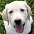 English Cream Labrador Retriever - Golden Retriever — Stock Photo