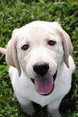 Español crema labrador retriever - golden retriever — Foto de Stock