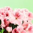 Pink Azaleas — Stock Photo