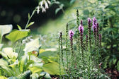 Liatris or Blazing Star — Stock Photo