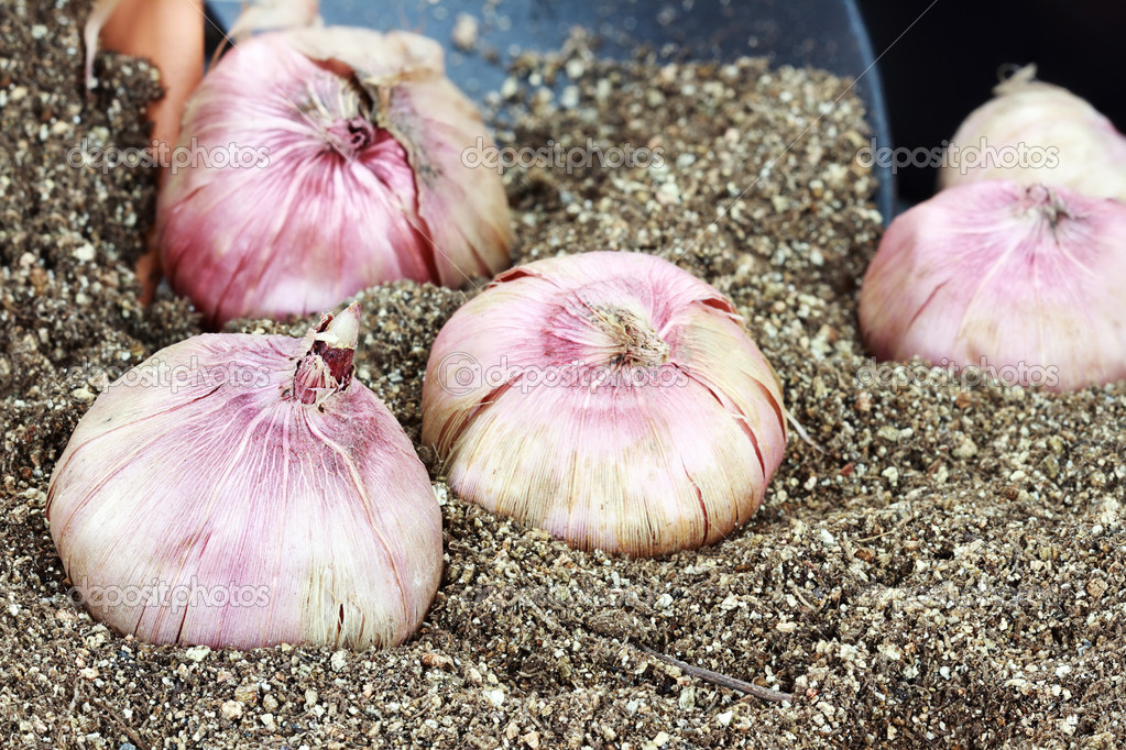 Flower corms or bulbs in potting soil with trowel. — Stock Photo #9579764