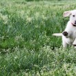 Stock Photo: English Cream Labrador Retriever - Golden Retriever Mix