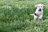 English Cream Labrador Retriever - Golden Retriever Mix — Stock Photo