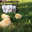 Free Range Chicks — Stock Photo