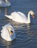Beautiful swans swim in the lake — Stock Photo