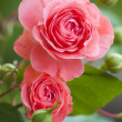 Beautiful pink rose — Stock Photo #8360364