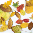 Autumn leaves in different colors and shapes from different trees — Stock Photo