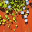 Crawler with blue flowers grows on the red wooden fence - Stock Photo
