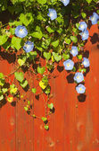 Crawler with blue flowers grows on the red wooden fence — Stock Photo