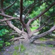 Very old tree in the park spreads its strong branches — Stock Photo