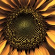 Sunflower up close — Stock Photo