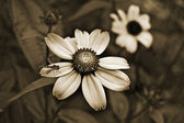 Old style sepia flowers — Stock Photo