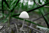 Schöne weiße pilz im gras — Stockfoto